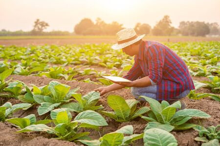 Asian young farmer or academic working in the field of tobacco tree. Research or checking the quality after planting tobacco concept