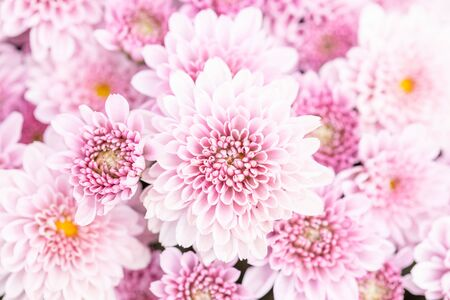 Macro top view beautiful chrysanthemum flower in garden for backdrop use