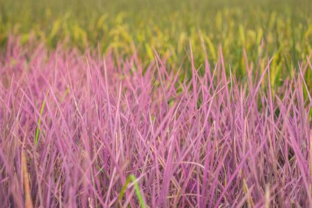 View of pink rice field in Phitsanulok province. Thailand. The new color of rice which accidental discovery