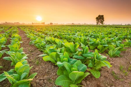 View of tobacco plant in the field at Sukhothai province, Northern of Thailand. Field of tobacco shot in morning time Imagens
