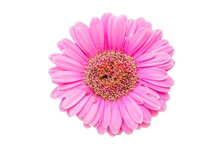 Top view fresh pink Gerbera flowers isolated on white