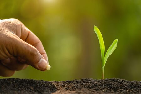 Close up farmer's hand planting seeds of corn tree in soil. Agriculture, Growing or environment concept