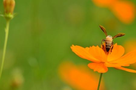 Bee on Marigold photo