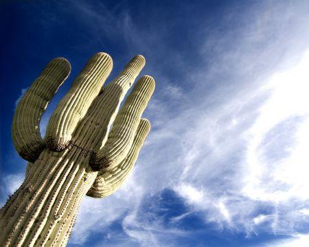 Desert saguaro with fluffy cloud sunset