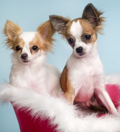 amorousness: Two  Chihuahua dogs