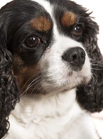 cavalier king charles spaniel: Portrait of a Cavalier King Charles Spaniel