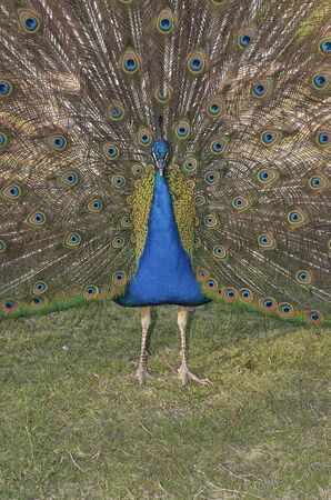 Peacock showing feathers photo
