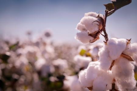 Cotton bourgeons Banque d'images - 20269689