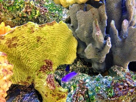 reef fish: Coral reef salt water fish