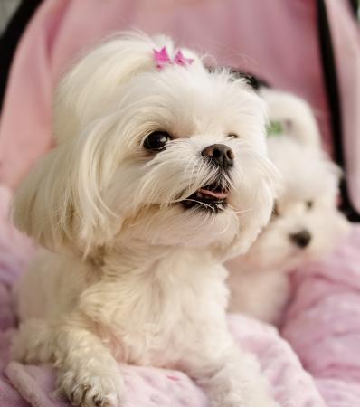 pet photography: Maltese puppies