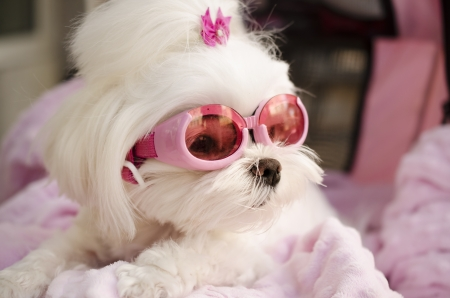 Cute maltese dog wearing pink goggles photo