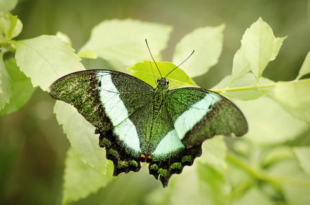 rare animals: Green butterfly  Spring is here