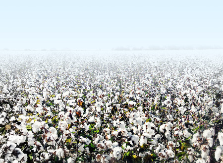 Cotton agriculture landscape Archivio Fotografico