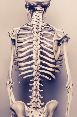 Stylized background photo of back of human skeleton model - aged effect Stock Photo