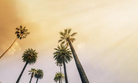 albero da frutto: Costa Los Angeles West Palm Tree Luce del sole