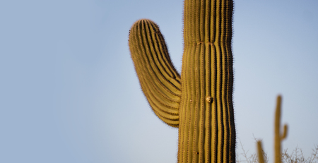 cacti: Saguaro Tree greeting banner American South West