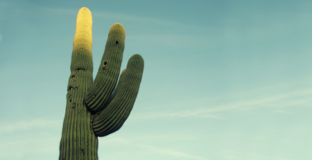 cactus species: The saguaro is an arborescent (tree-like) cactus species in the monotypic genus Carnegiea,. It is native to the Sonoran Desert (Saguaro National Park) in the U.S. state of Arizona.