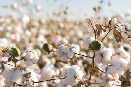 Campo di cotone in piena fioritura