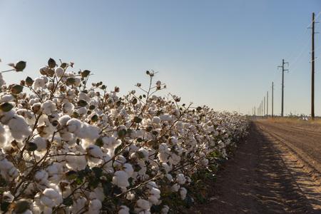 raccolto di cotone in piena fioritura