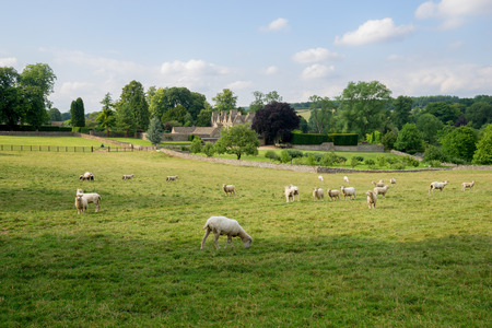 Sheep grazing cotswolds, England