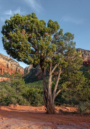 Sedona, beautiful Tree, Oak Creek Canyon, Arizona,USA Imagens - 115912200
