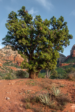 Sedona, beautiful Tree, Oak Creek Canyon, Arizona,USA