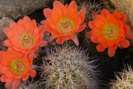 Orange cacti flowers blooming in spring sunshine in Arizona desert. Imagens - 115272489