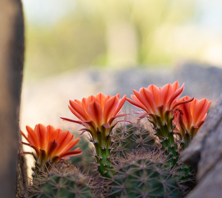 Orange cacti flowers blooming in spring sunshine in Arizona desert. Imagens