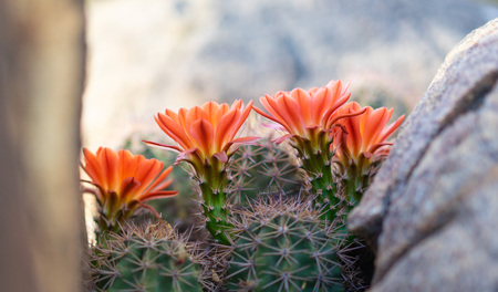 Orange cacti flowers blooming in spring sunshine in Arizona desert. Imagens - 115272497