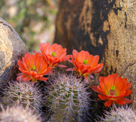 Orange cacti flowers blooming in spring sunshine in Arizona desert. Imagens - 115272498
