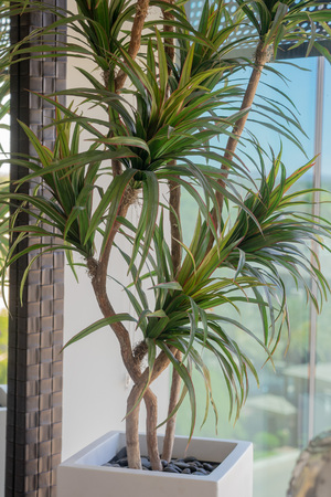 Indoor tropical plant in white ceramic modern stylish pot Imagens - 121649762