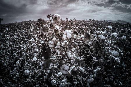 Cotton crop landscape, ripe cotton bolls on branch