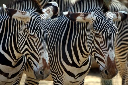 sripes: close-up of two zebras standing together
