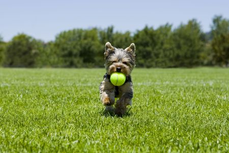 Little puppy running with a ball  Stockfoto