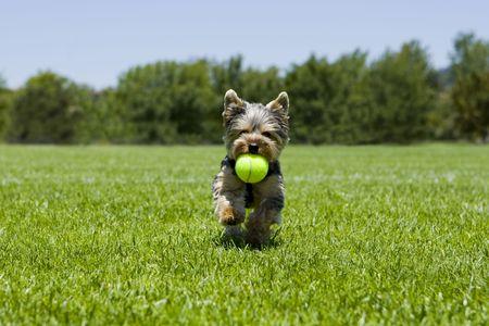 Little puppy running with a ball