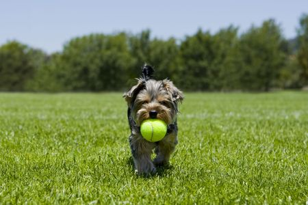 silky terrier: Little puppy running with a ball  Stock Photo
