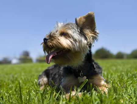 Cute little yorkie pup sitting in the grass Stock Photo - 5326392