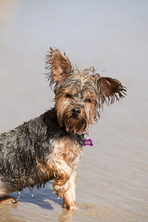Dirty wet puppy playing at the beach photo