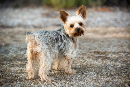 Cute little yorkie with a puppy cut Stock Photo