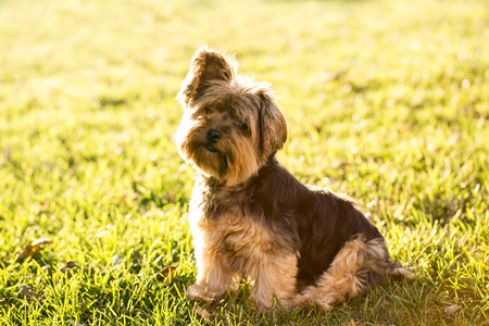 Cute little yorkie sitting in the grass