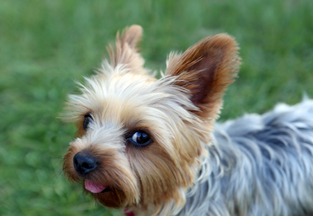 babyface: Cute little yorkie with a puppy cut Stock Photo