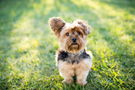 Cute little yorkshire terrier dog outside in the grass Stock Photo