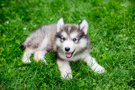 Cute alaskan malamute puppy in the grass Banque d'images