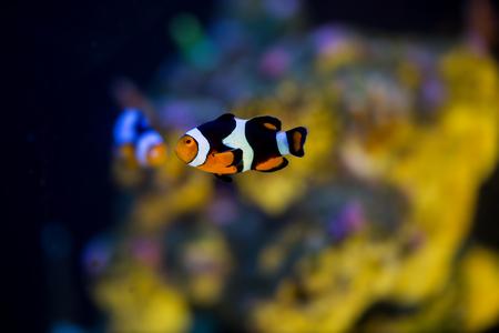 Clown fish swimming in aquarium tank