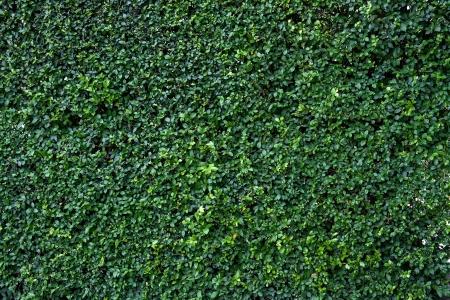 自然の緑の葉の壁、エコ フレンドリーな背景 写真素材
