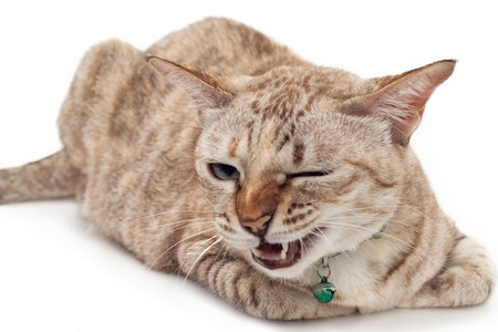 Light brown cat with angry face on white background