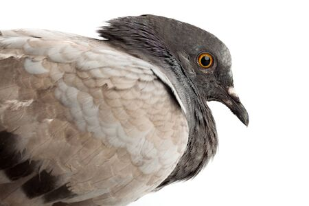 pigeon dove bird close up on white background beautiful beauty animal poultry close up Stock Photo