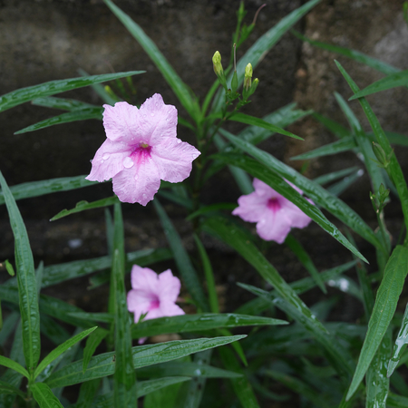 petunia wild: The pink wild petunia flowers in front of concrete wall. Stock Photo