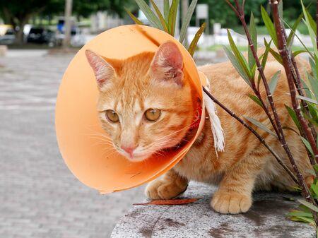 pathetic: The cute cat wearing the orange plastic cone collar. Stock Photo