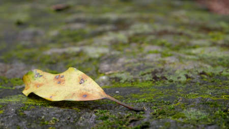 dried leaf: The close up of dried leaf on a moss stone. Stock Photo